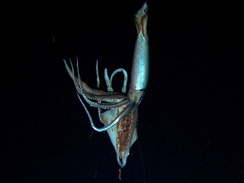 A giant squid is seen in this still image taken from video captured from a submersible by a Japanese-led team of scientists near Ogasawara islands