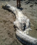 Mysterious 'horned' sea monster washes ashore in Spain
