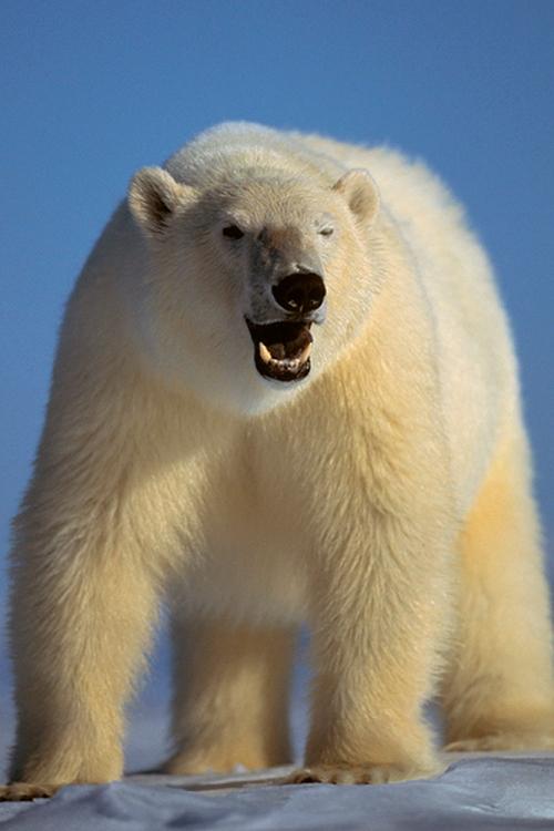 עמוס נחום צילום חיות גדולות בטבע - Amos Nachoum Big Animals photography