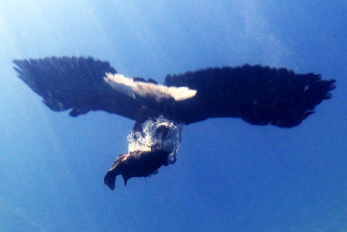 Eagle - FROM - underwater  עמוס נחום צילום חיות גדולות בטבע - Amos Nachoum Big Animals photography