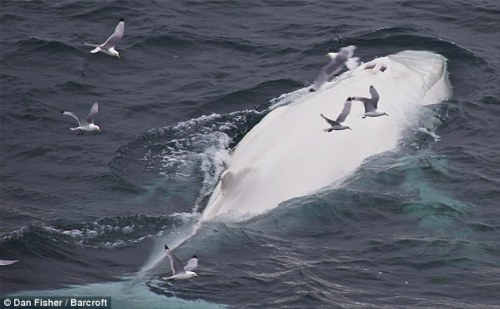 The humpback, looking like a real-life version of the iconic Moby Dick, was spotted swimming in a pod of whales off the coast of Norway